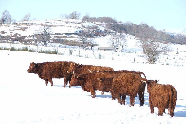 15-Vache Salers